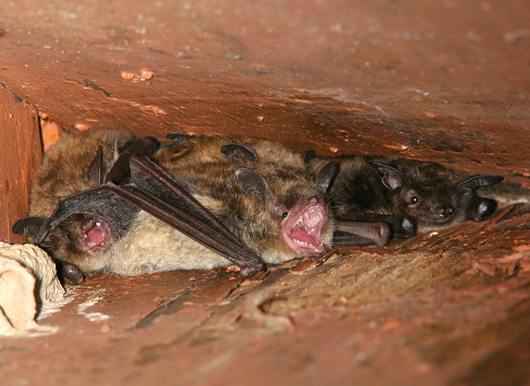 Bats And Bat Capture Amp Removal By Suburban Wildlife Control