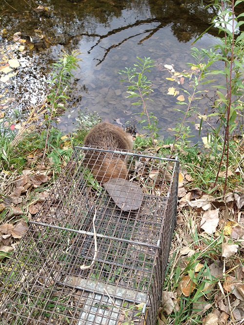 Beaver Photo Gallery 1 By Suburban Wildlife Control