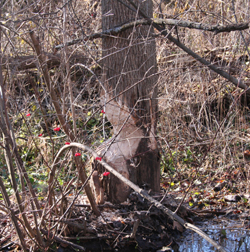 Beavers And Beaver Capture Removal And Control By