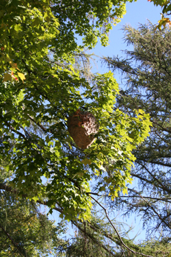 A hornet's nest removed from a tree by Suburban Wildlife Control