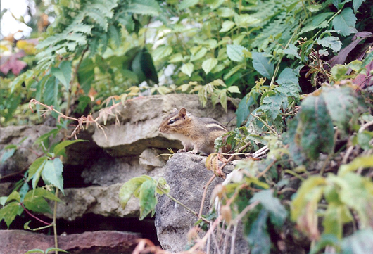 chipmunk on rocks