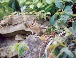 chipmunk in landscaping