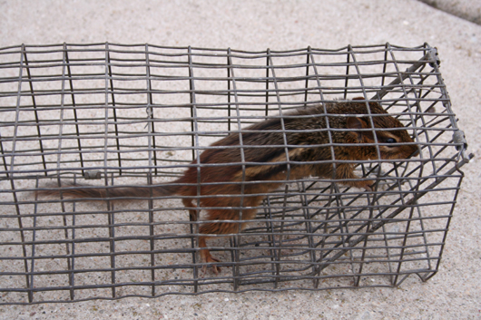 chipmunk in trap