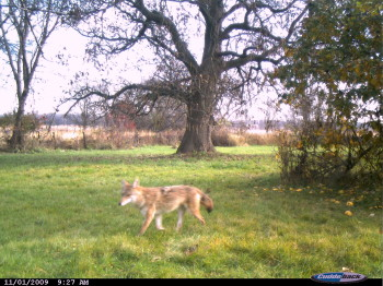 phot we took of a coyote