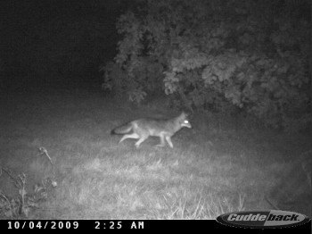 another coyote in the early morning