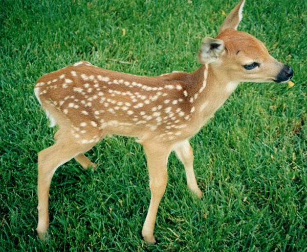 Baby deer fawn by Suburban Wildlife Control
