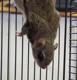 flying squirrel up close