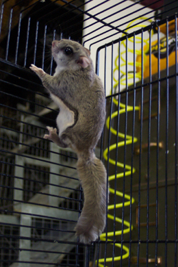 Flying Squirrels And Flying Squirrel Capture Removal And