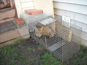a fox in one of our traps