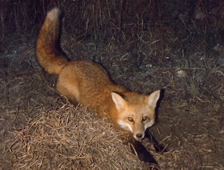 fox brad captured and released