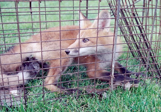 Foxes And Fox Capture Removal And Relocation By Suburban