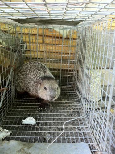 Groundhogs And Groundhog Removal By Suburban Wildlife Control