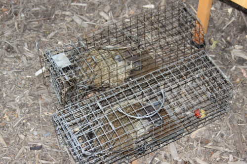 groundhog removal by SUburban Wildlife Control