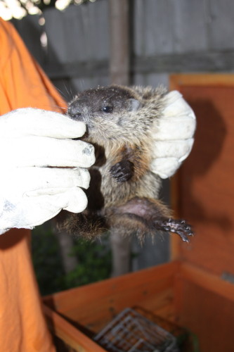Groundhog Removal Photo Gallery 3 By Suburban Wildlife Control