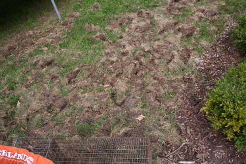 Lawn and Turf Animal Damage Control by Suburban Wildlife ...