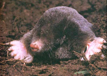 Mole Removal Services By Suburban Wildlife Control