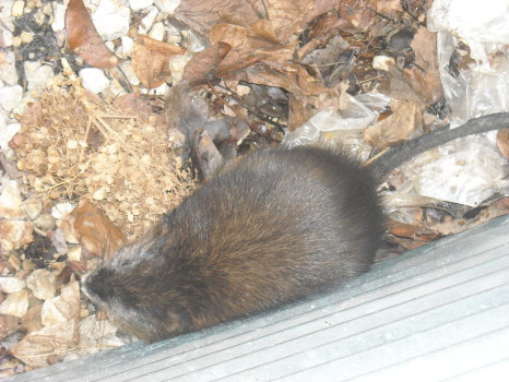 Muskrat that caused major damage removed by SUburban Wildlife Control