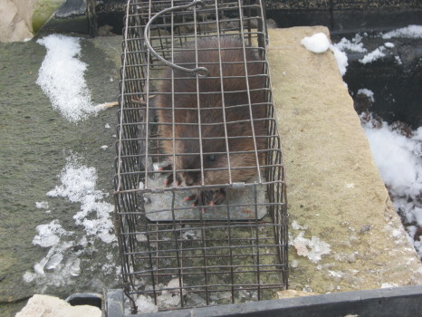 Muskrat that ruined a pond captured and removed by Suburban Wildlife Control