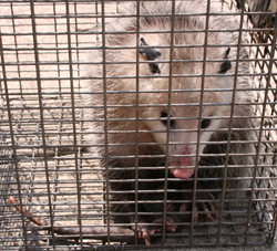 Opossum Photo Gallery By Suburban Wildlife Control