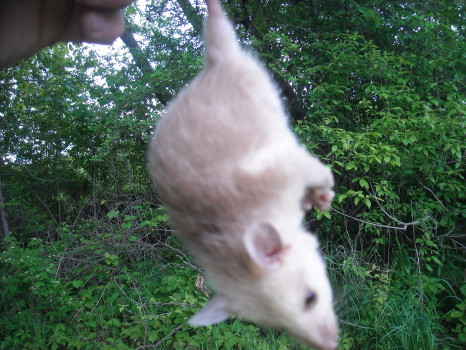 Opossum removed by Suburban Wildlife Control