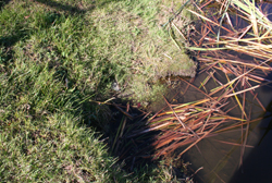Muskrat Removal Services By Suburban Wildlife Control