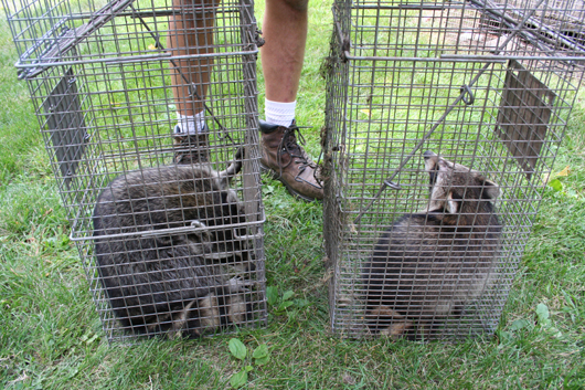 2 raccoons we caught