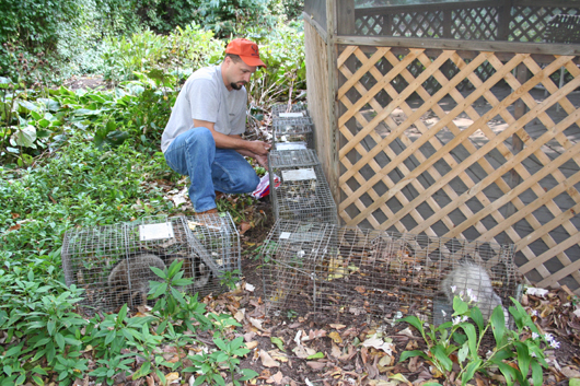 Raccoons and a opossum living under a gazebo