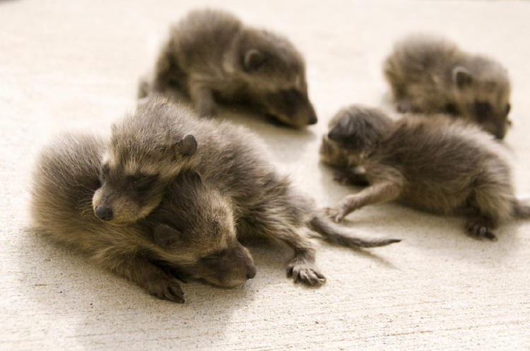 Raccoon Photo Gallery 9 By Suburban Wildlife Control