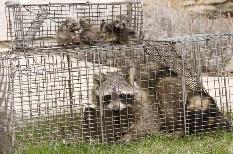 Raccoon Photo Gallery 9 By Suburban Wildlife Control