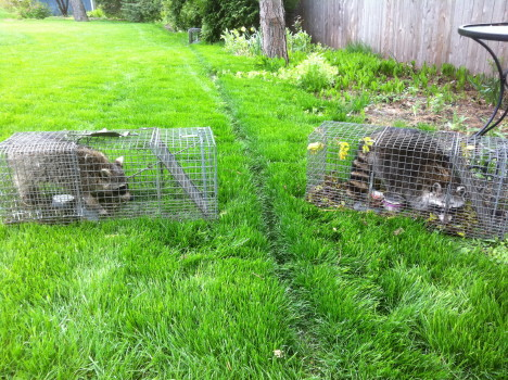 two trapped raccoons
