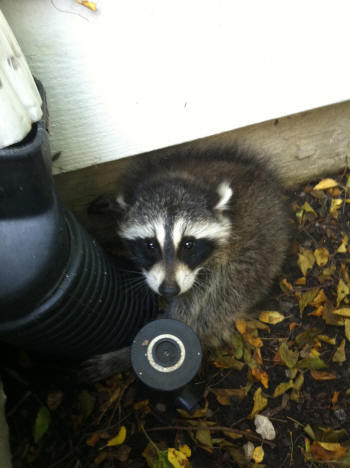 raccoon escapee but not for long