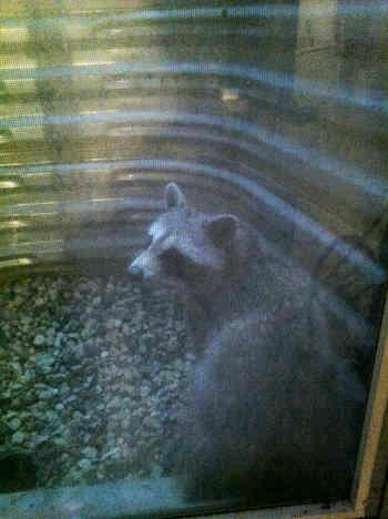 raccoon in a window well