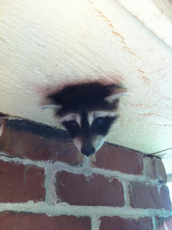 raccoon with head stuck in a knot hole