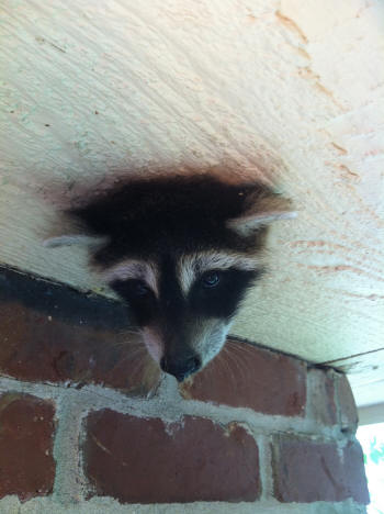 raccoon baby stuck in knothole
