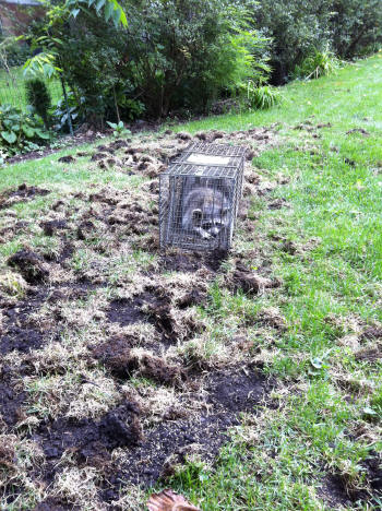 Raccoon Removal Amp Control By Suburban Wildlife Control
