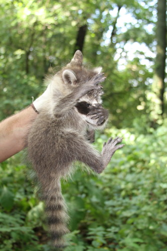 Raccoon Photo Gallery 10 By Suburban Wildlife Control