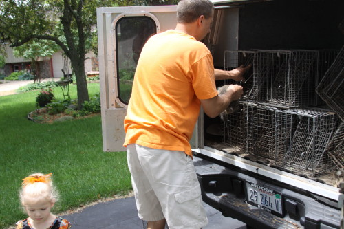 Raccoon Removed by Suburban Wildlife Control