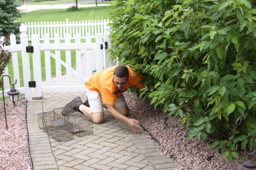 nuisance raccoon capture by suburban wildlife control