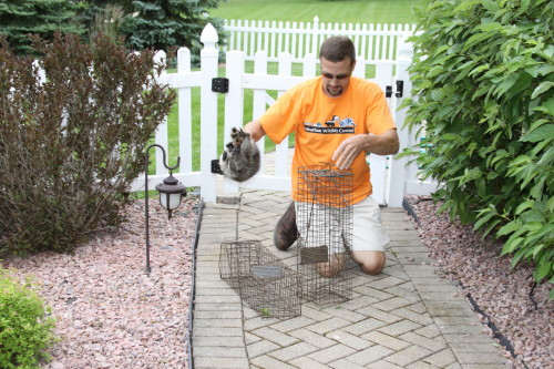 raccoon capture and removal by suburban wildlife control