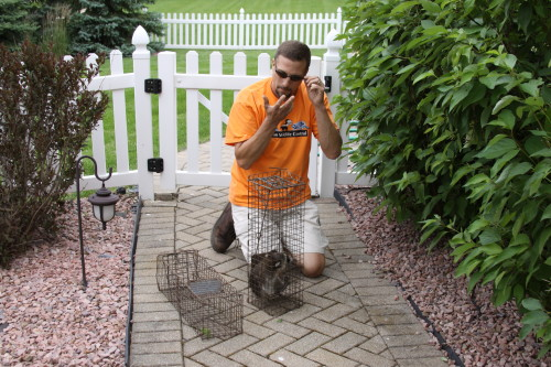 raccoons being hand caught by suburban wildlife control