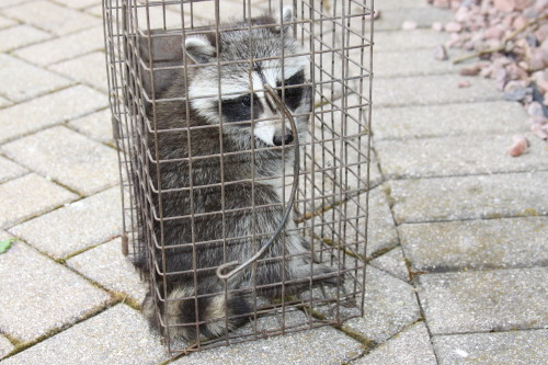 baby raccoons being captured by suburban wildlife control