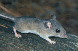 Mice And Mouse Treatments By Suburban Wildlife Control