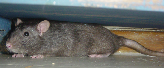 Other Rodents And Removal By Suburban Wildlife Control