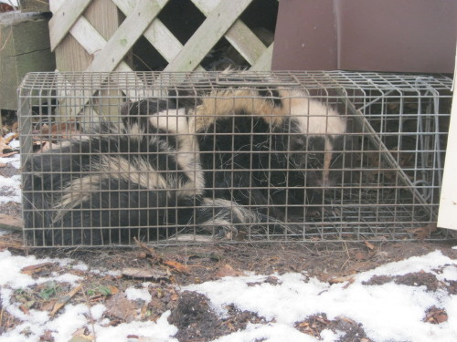how to get rid of skunks under deck
