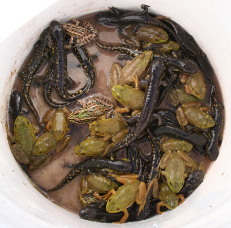 bucketful of amphibians caught by Subruban Wildlife Control