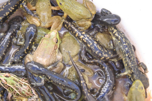 amphibians taken out of a window well by Suburban Wildlife Control