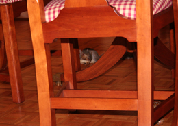 squirrel under table